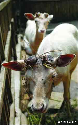 动物园割鹿角血淋淋,吓哭小游客 红山森林动物园:割鹿角是防止公鹿争