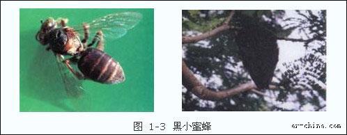 蜂的种类——黑小蜜蜂